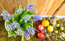 Still life with Hyacinth on moss , fruit and wood background at Royalty Free Stock Images