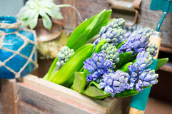 Still life with Hyacinth in vintage cabinet wood at rustic inte Royalty Free Stock Images