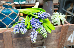 Still life with Hyacinth in vintage cabinet wood Royalty Free Stock Image