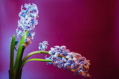 Still life jacinth. Still life flower hyacinth. Bulbous plant, which grows in the garden area and in the home. Photo jacinth 7360x4912 pixels used for printing Royalty Free Stock Image
