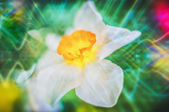 Still life jonquil. Art digital style. Still life flower narcissus. Bulbous plant, which grows in the garden area and in the home. Photo jonquil used for stock images