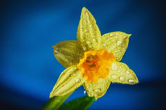 Still life jonquil. Art digital style. Still life flower narcissus. Bulbous plant, which grows in the garden area and in the home. Photo jonquil used for stock image
