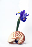 Still Life, Nautilus Seashell and Purple Iris Royalty Free Stock Photos