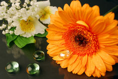 Still life with orange gerberas. Orange gerbera, alstroemeria and gypsophila are on the glass surface in black Stock Images