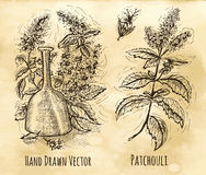 Still life with patchouli and perfume bottle. Graphic set with patchouli still life - oil, leaves and flowers. Hand drawn engraved illustration. Vintage drawing Royalty Free Stock Photo