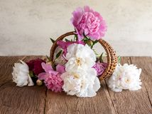 Still life with peonies Stock Images