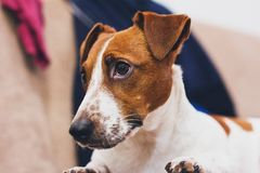 Still Life Photo of White and Brown Dog Royalty Free Stock Photos