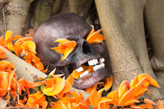 Still life photography, skull on Flame Of The Forest. At bottom of big Bodhi tree ( Bodhi or pho tree is symbols of Buddhism royalty free stock photo