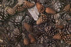 Still-Life of Pine Cones Stock Image