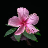 Still life of pink hibiscus flower on green leaf with drops in w Stock Photos