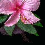 Still life of pink hibiscus flower on green leaf with drops in w Stock Image