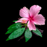 Still life of pink hibiscus flower on green leaf with drops in w Royalty Free Stock Images
