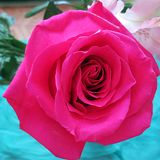 A still life with Pink Rose Royalty Free Stock Photography