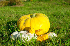 Still life of pumpkins Royalty Free Stock Photography