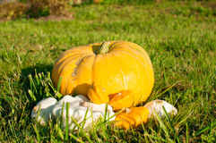 Still life of pumpkins Royalty Free Stock Photo