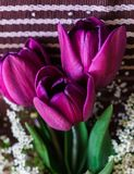Still life of purple tulips with spirea sprigs.  stock image