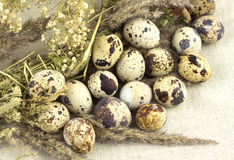 Quail eggs with dry grass Royalty Free Stock Images
