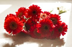 Still life with Red Gerbera Flowers Bouquet on Sunlight. Still life with Red Mini Gerbera Flowers Bouquet on Sunlight .Natural Light from Window.Backlit Royalty Free Stock Images