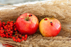 Still life of red ripe apples on the spikelets Royalty Free Stock Images