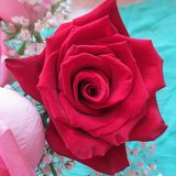 A still life with Red Rose Royalty Free Stock Image