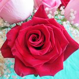 A still life with Red Rose Royalty Free Stock Images
