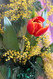Still-life with red tulips yellow odorous mimosa Stock Images