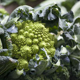The Still life of romanesco cauliflower or broccoli heads Stock Images
