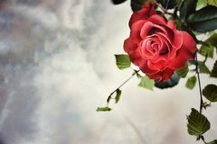 Still life. Scarlet rose in the upper corner on a marble-gray background with a place for your text Stock Photo