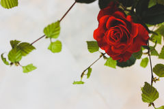 Still life. Of scarlet rose with young birch branches with bright green leaves on white background Royalty Free Stock Photography