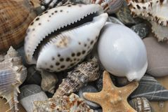 Still life with seashells. Still life with seashell of the miscellaneous of the size and pebble Royalty Free Stock Photography