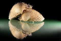 Still life with shells. Mirroring on the black sheet of glass Royalty Free Stock Photo