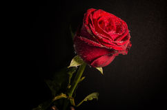 Still life a single red rose ,Close up. Royalty Free Stock Photography