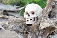 Still Life with a Skull of Human and a death mongoose Royalty Free Stock Images