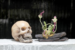 Still life with skull and orchid on wood in night time with dak background Stock Photo