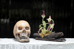 Still life with skull and orchid on wood in night time with dak background Royalty Free Stock Images