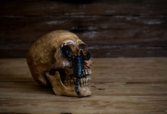 Still life.Skull resting on old wooden floor in front of a scorp Stock Image