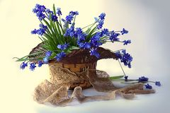 Still life with spring flowers in a basket . Still life with a bouquet of blooming, blue snowdrops in a basket with lace Stock Photo