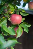 Still life of apple tree royalty free stock images