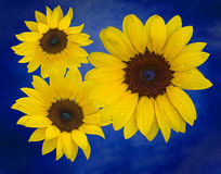 Still life Sunflowers. A view of a bunch of sunflowers on a blue background Stock Photo