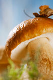 Still life with white boletus mushrooms  macro Royalty Free Stock Photography
