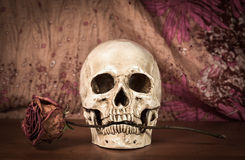 Still life white human skull with dry red rose in teeth on woode Stock Image