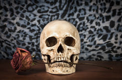 Still life white human skull with dry red rose in teeth on woode Royalty Free Stock Photography