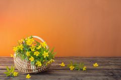 Still life with yellow flowers in basket. Still life with yellow spring flowers in basket stock photo