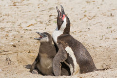 Still of Penguin Mother and Chicklet Royalty Free Stock Photo