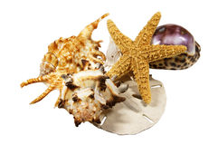 Still Sea Life. Composition of tropical sea shells and a star fish Stock Image