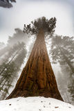 We still see the gigantic base clearly with its red bark as mist comes down. As mist covers the giant sequoia forest tree tops for the night we still see the Stock Photo