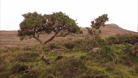 Still shot of a long tree on a green Irish hill. Stones protrude along the hill in the background, while the foreground is covered in grass, moss and flowers stock video footage