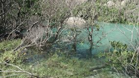 Growing mangroves in a turquoise water. A still shot of mangroves in the turquoise water.  The water was clear that the plants beneath can be seen stock footage