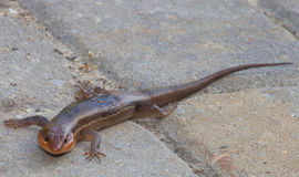 Still skink Stock Photography