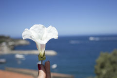 It is still spring. White color flower closeup,hand taking a flower Royalty Free Stock Photo
